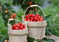 四季青镇:樱桃进入最佳采摘期