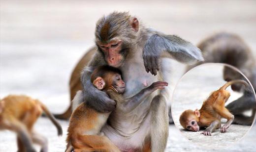 国家二级保护动物猕猴归来
