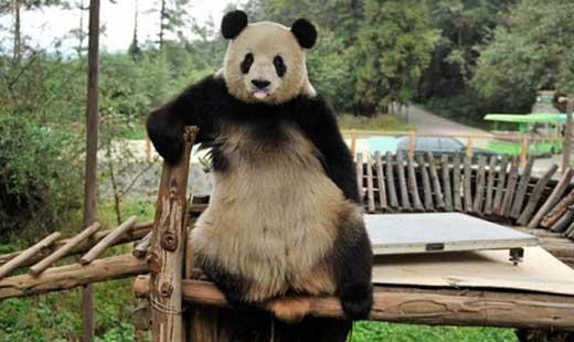 昆明动物园体检 熊猫思嘉搞破坏后吐舌卖萌
