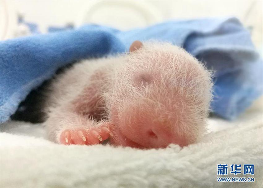 陕西大熊猫家族添新丁