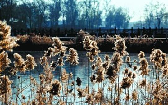 圆明园芦苇迎最佳观赏季