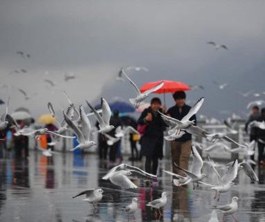昆明滇池游客雨中邂逅红嘴鸥