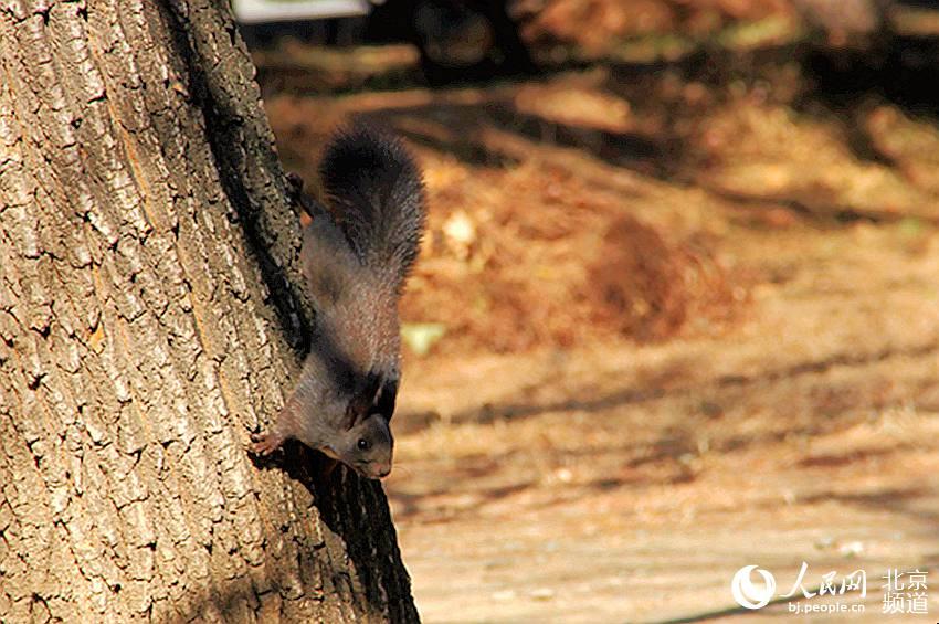 两只松鼠正在树上觅食,萌萌的样子十分可爱。人民网池梦蕊 摄
