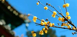 周末去哪儿玩?去北京植物园赏腊梅!        早春时节,正是观赏腊梅的好时候。北京植物园内的卧佛寺是北京地区有名的赏梅胜地。