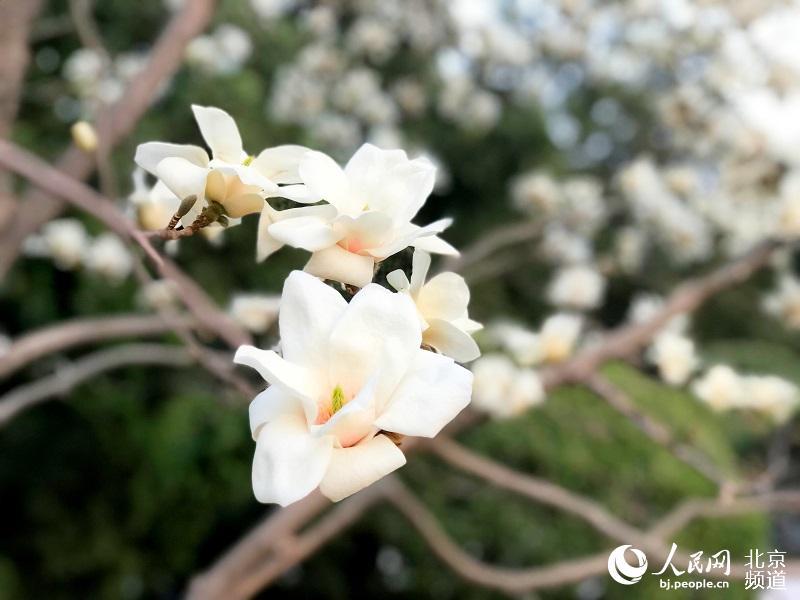 天坛公园北天门内的古玉兰树,千花万蕊已然傲立枝头,芳香四溢,着实让人惊艳。人民网 董兆瑞摄
