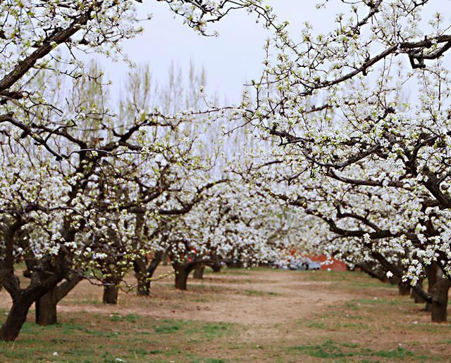 大兴万亩梨花盛放 承包最美春天