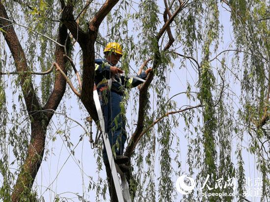 今年北京市将综合治理杨柳雌株30万株一砍了之要不得