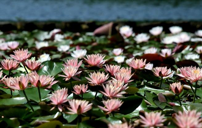 杭州:西湖睡莲成片绽放