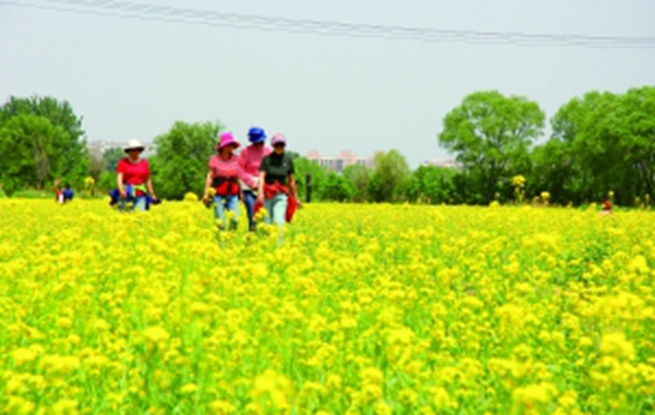 海淀山后千亩油菜花花开正盛 花期一般在15天左右