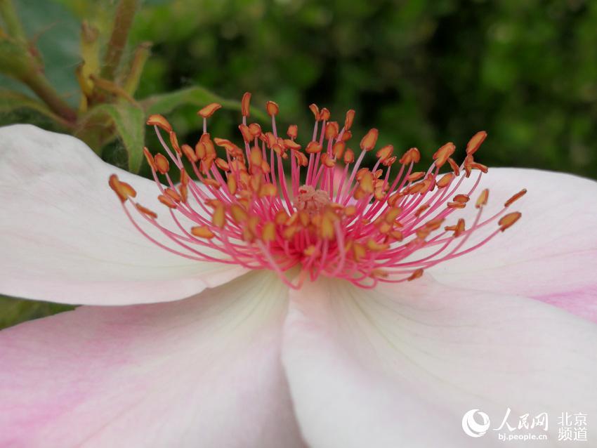 """月季属蔷薇科,是美好、友谊、和平的象征。1987年北京市正式确定""""月季和菊花""""为北京市花。人民网尹星云 摄"""