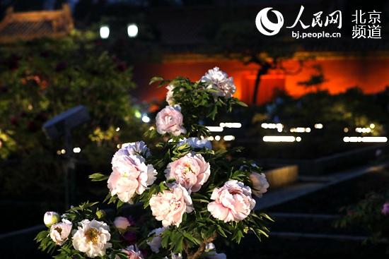 景山公園首次全園夜賞牡丹感受別樣光影幻境