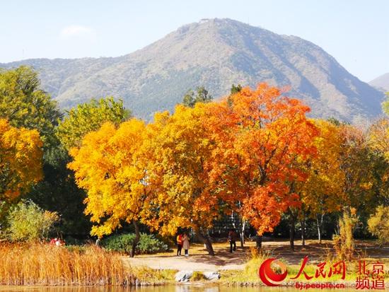 北京植物园秋色绚烂 秋叶最佳观赏期持续到11月上旬