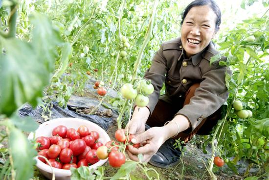 平谷山东庄镇的西红柿熟了口感怪异受热捧