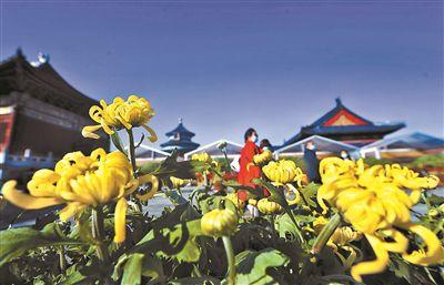 天坛公园第40届菊花展开幕 万余盆菊花打造沉浸式观赏体验
